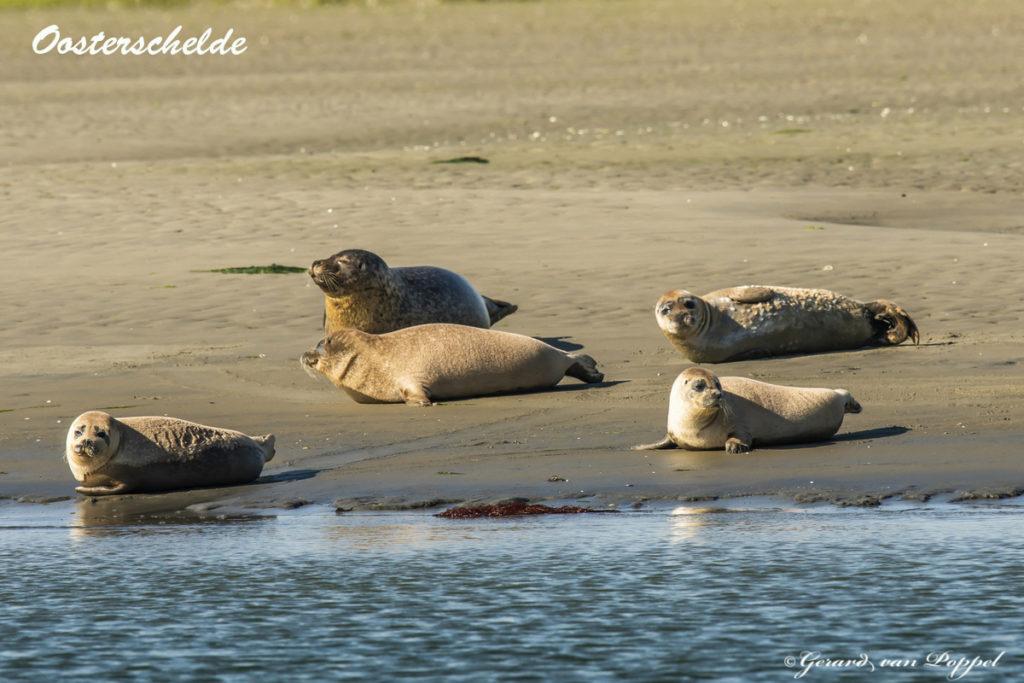 Zeehonden Sint Annaland